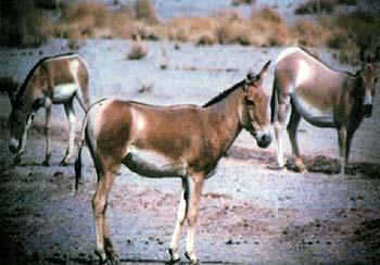 گورخر ایرانی